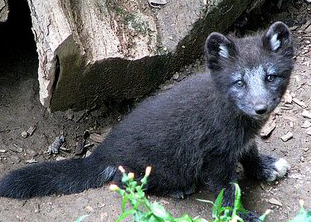 Black_baby_arctic_fox_by_woxys